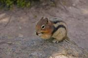 Cute ground squirrel (gopher)