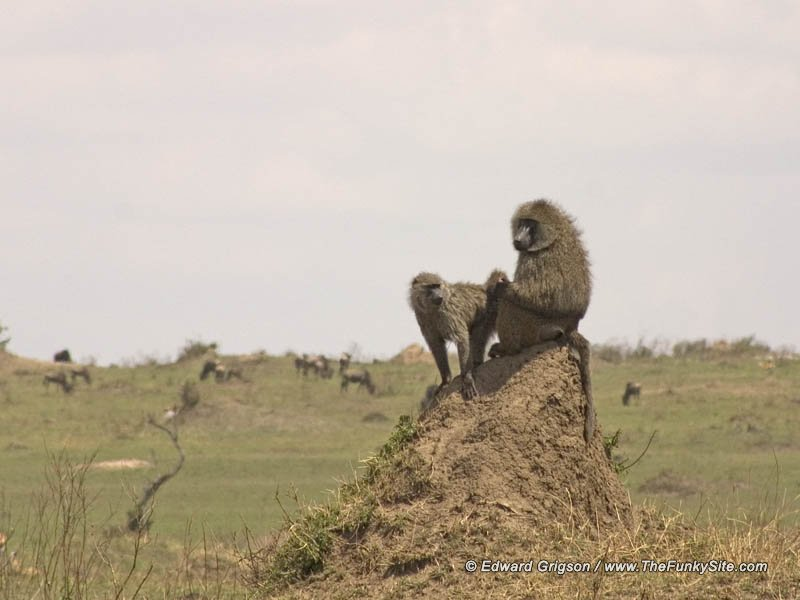 Baboons on lookout